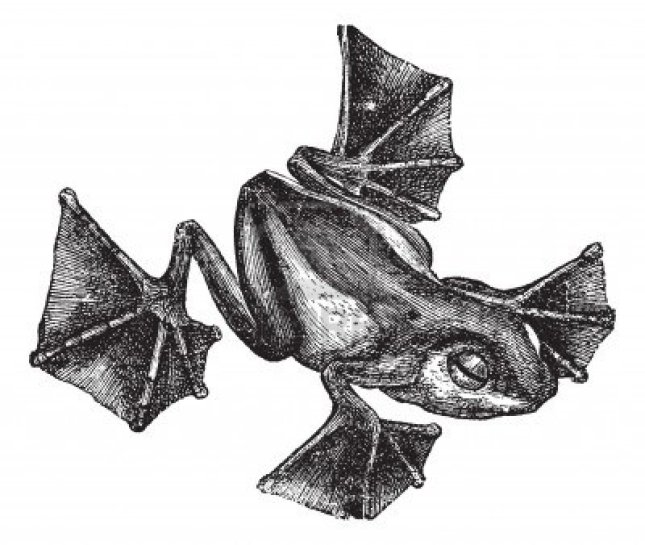13770745-grenouille-rhacophorus-ou-racophorus-ou-leptomantis-ou-rhacoforus-ou-de-vol-la-gravure-de-cru-vieux-